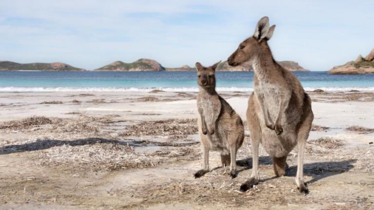 Zwei australische Kängurus am Strand